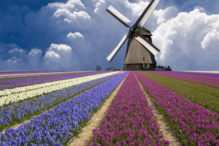 au pair na Holanda moinho e tulipas